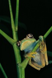 Leptopelis Barbouri (Barbour's Tree Frog) Photographic Print by Paul Starosta