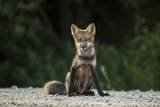 Red Fox, Gillam, Manitoba, Canada Photographic Print by Paul Souders
