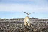 Seagull and Polar Bear, Hudson Bay, Nunavut, Canada Photographic Print by Paul Souders