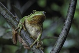 Hyla Meridionalis (Mediterranean Tree Frog) - in a Tree Photographic Print by Paul Starosta