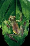 Rhacophorus Prominanus (Malayan Flying Frog) Photographic Print by Paul Starosta