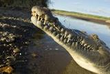American Crocodile, Costa Rica Impressão fotográfica por Paul Souders