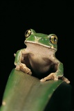 Leptopelis Sp. (Forest Treefrog ) Photographic Print by Paul Starosta