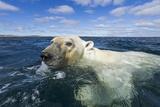Swimming Polar Bear, Hudson Bay, Nunavut, Canada Lámina fotográfica por Paul Souders