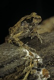 Arthroleptis Stenodactylus (Savanna Squeaking Frog) Photographic Print by Paul Starosta