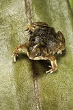 Hemisus Marmoratus (Shovel-Nosed Frog) Photographic Print by Paul Starosta