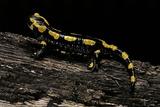 Salamandra Salamandra Terrestris (Fire Salamander) Papier Photo par Paul Starosta