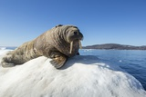 Walrus on Ice, Hudson Bay, Nunavut, Canada Fotografisk tryk af Paul Souders