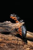 Cynops Orientalis (Fire-Bellied Newt) Reproduction photographique par Paul Starosta