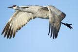 Sandhill Crane in Flight, Bosque Del Apache, New Mexico Photographic Print by Paul Souders