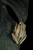 Hyperolius Marmoratus Taeniatus (Marbled Reed Frog, Painted Reed Frog) Photographic Print by Paul Starosta