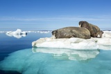 Walruses on Iceberg, Hudson Bay, Nunavut, Canada Photographic Print by Paul Souders