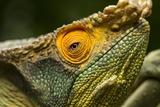 Parsons Chameleon, Madagascar Reproduction photographique par Paul Souders