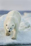 Polar Bear on Sea Ice, Hudson Bay, Nunavut, Canada Fotografisk trykk av Paul Souders