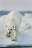 Polar Bear on Sea Ice, Hudson Bay, Nunavut, Canada Photographic Print by Paul Souders