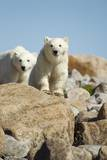 Polar Bear Cubs, Hudson Bay, Manitoba, Canada Photographic Print by Paul Souders
