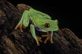 Agalychnis Callidryas (Red-Eyed Treefrog) Photographic Print by Paul Starosta