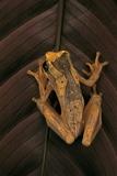 Dendropsophus Ebraccatus (Hourglass Treefrog) Photographic Print by Paul Starosta