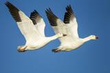 Snow Geese, Bosque Del Apache National Wildlife Refuge, New Mexico Photographic Print by Paul Souders