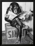 Schimpanse liest die Zeitung Gerahmter Fotografie-Druck von  Bettmann