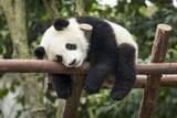 Giant Panda Cub, Chengdu, China Reproduction photographique par Paul Souders