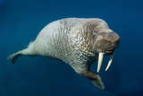 Underwater Walrus, Hudson Bay, Nunavut, Canada Photographic Print by Paul Souders