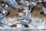 Snow Geese, Bosque Del Apache, New Mexico Stampa fotografica di Paul Souders