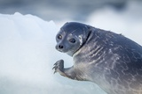 Ringed Seal Pup, Nunavut, Canada Photographic Print by Paul Souders