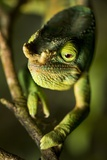 Parson's Chameleon, Andasibe-Mantadia National Park, Madagascar Photographic Print by Paul Souders