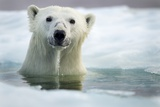 Polar Bear, Hudson Bay, Canada Photographie par Paul Souders