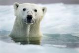 Polar Bear, Hudson Bay, Canada Fotografisk trykk av Paul Souders