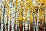 Aspen Grove - Yellow Posters