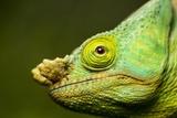 Parson's Chameleon, Andasibe-Mantadia National Park, Madagascar Reproduction photographique par Paul Souders