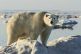 Polar Bear on Iceberg, Hudson Bay, Nunavut, Canada Reproduction photographique par Paul Souders