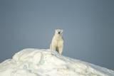 Polar Bear on Iceberg, Hudson Bay, Nunavut, Canada Stampa fotografica di Paul Souders