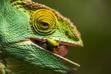 Parsons Chameleon Eats Grasshopper, Madagascar Photographic Print by Paul Souders