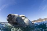 Swimming Polar Bear, Nunavut, Canada Photographic Print by Paul Souders