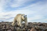 Polar Bear, Hudson Bay, Nunavut, Canada Photographic Print by Paul Souders