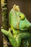 Parsons Chameleon, Andasibe-Mantadia National Park, Madagascar Reproduction photographique par Paul Souders