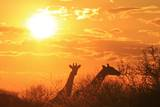 Sunset Background and Giraffe Silhouette from Africa. Photographic Print by Naturally Africa