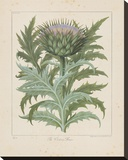 Cardoon Stretched Canvas Print by Besler Basilius