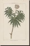 Les Botaniques IV Stretched Canvas Print by Georg Dionysius Ehret