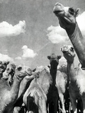 Group of Camels Photographic Print by Bruno Miniati
