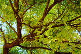 Locust Tree Close-Up Background. Photographic Print by  adistock