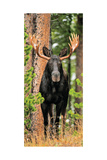 Skinny Chocolate Moose Photographic Print by Gary Crandall