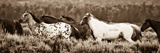 Sepia Horses Photographic Print by Gary Crandall