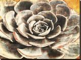 Echeveria Stretched Canvas Print