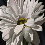 Black Tie Daisy Print by Ellen Macioce