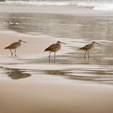 Shore Birds II Affiches par Danita Delimont