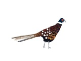 Pheasant, 2013 Giclee Print by Isobel Barber